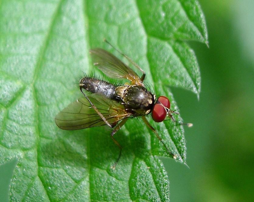 как бороться с малинной мухой