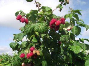 Где сажать малину, чтобы улучшить урожайность и здоровье культуры