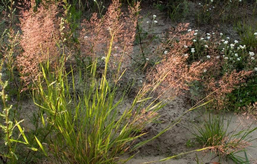 метлица ограничивает разрастание корней малины