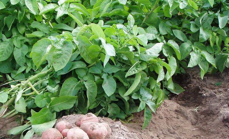 Ботва картофеля от тли на малине