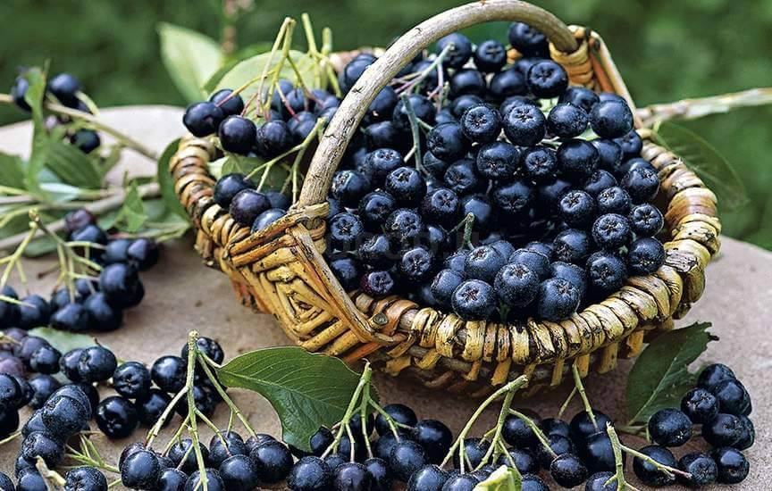 Как собирать черноплодную рябину